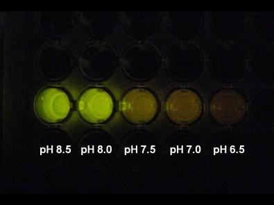 Enzima de vagalume pode ser usada como indicador de pH intracelular