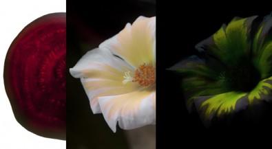 Pigmentos de flores fluorescentes podem ter aplicação clínica