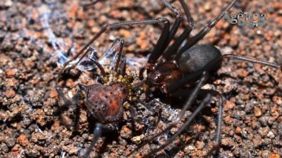 Aranha-marrom identifica pontos fracos de presa ao atacá-la