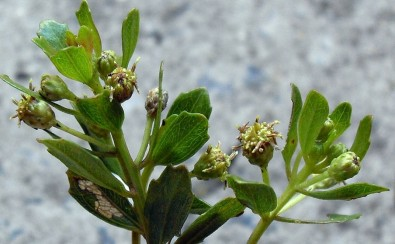 Plant from Brazil contains a compound with an anti-inflammatory action