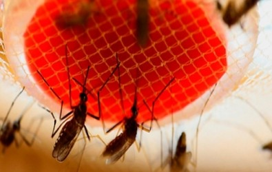Gut bacteria of <i>Aedes aegypti</i> could become a weapon against dengue