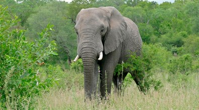 Elefante no Cerrado exerceria papel que já foi de mastodontes