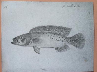 Peixe do rio Negro coletado por Alfred Wallace há 160 anos é finalmente descrito