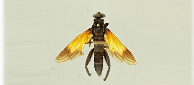 Newly described species of giant fly and soldier fly resemble hornets