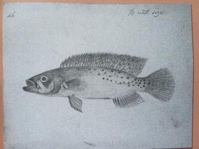 Fish collected by Alfred Russel Wallace 160 years ago is finally described