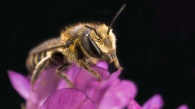 Relatório da IPBES alerta para as consequências da extinção de polinizadores