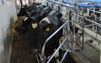 Pesquisadores desenvolvem leite mais saudável
