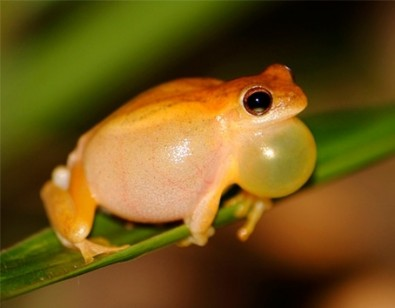 Climate change threatens treefrogs