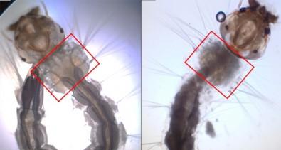 Biolarvicida obtido do bagaço da cana mata larvas de <i>Aedes aegypti</i>