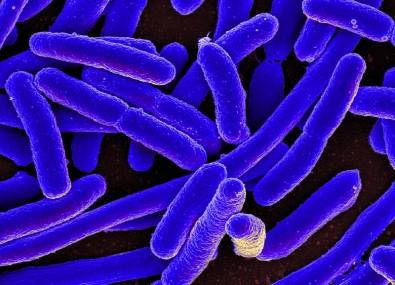 Identificada proteína usada pela bactéria <i>E. coli</i> para driblar sistema imune