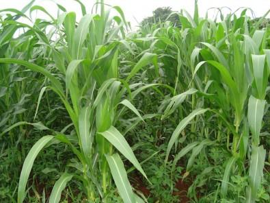 """""""Adubos verdes"""" são opção para proteger o milho orgânico contra ervas daninhas"""