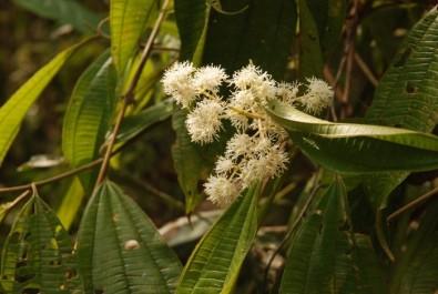 Una especie de árbol brasileño tiene capacidad para colonizar áreas deforestadas