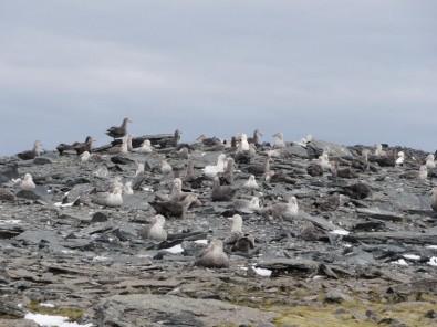 Los plaguicidas constituyen una amenaza para colonias de aves antárticas