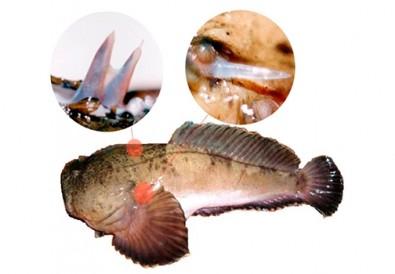 Peixe peçonhento tem molécula com ação potencial contra esclerose