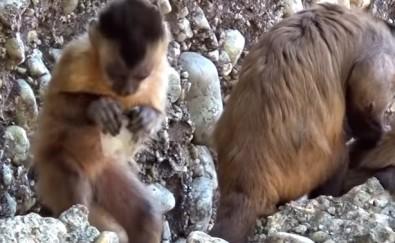 Macacos-prego produzem pedras afiadas semelhantes a ferramentas