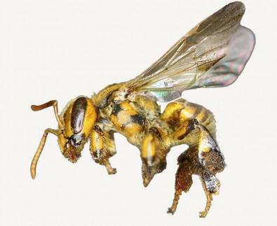 El transporte de colonias afecta la estructura genética de las abejas sin aguijón