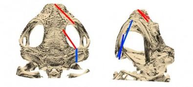 Sapos têm crânios alterados em resposta às mudanças climáticas