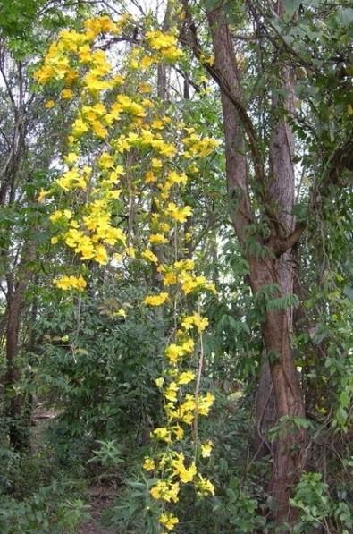 Realizan un mapeo inédito de lianas de los bosques tropicales