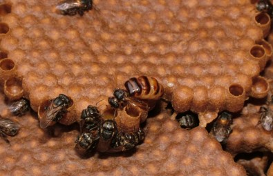 Abelhas removem larvas mortas para reduzir transmissão de doenças na colmeia