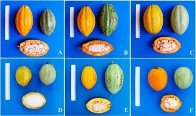 Describen la historia genética del cacao en Brasil
