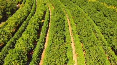 Consórcio com a macadâmia protege o café e aumenta sua produtividade