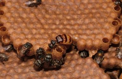 Las abejas retiran las larvas muertas de las colmenas para evitar enfermedades