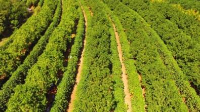 El cultivo en consorcio con macadamia protege al cafeto y aumenta su productividad