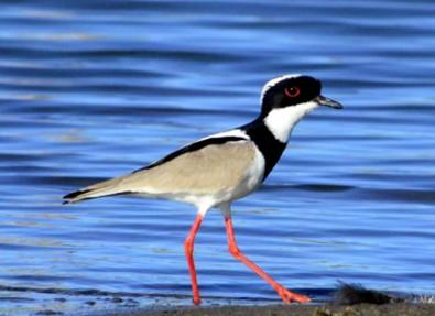 Guia on-line apresenta aves da Caatinga brasileira
