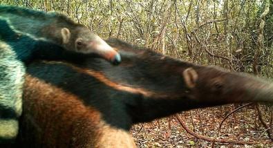 Grupo da Unesp divulga censo de mamíferos em florestas imersas na cana-de-açúcar