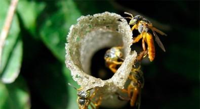 Abelhas sem ferrão têm guardas especializadas para defender suas colmeias