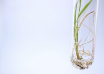 Estudo desvenda como hormônio aumenta o acúmulo de açúcar na cana