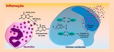 Novo mecanismo de ação inflamatória do ácido úrico é descrito