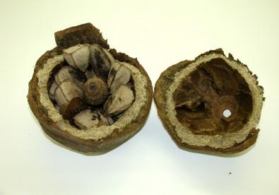 Pesquisa possibilita controlar a contaminação de castanhas-do-pará por micotoxinas