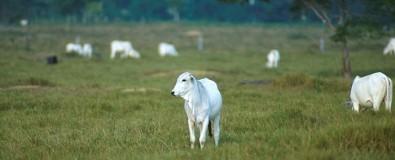 Una hormona biotecnológica reduce los costos para inducir la ovulación en el ganado