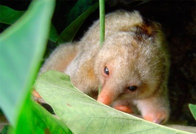 Not one but at least seven species of silky anteater identified