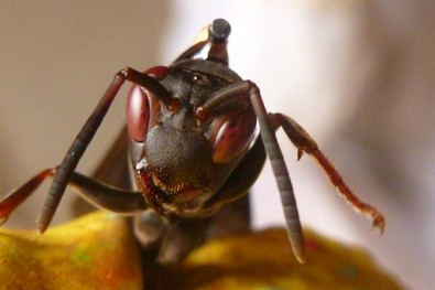 Wasps that share food with neighbors