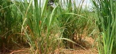La conversión de pasturas en cultivos de caña dulce aumenta las emisiones de GEI