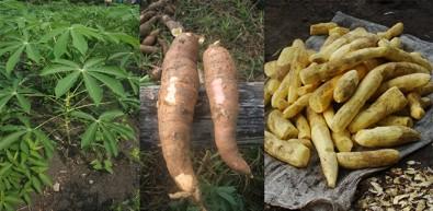 Forma mais popular da mandioca é consumida há 9 mil anos