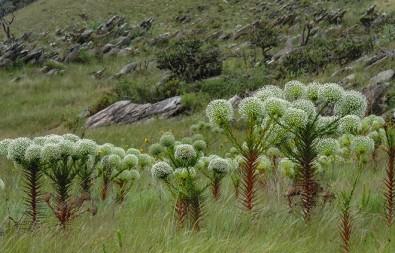 Campo rupestre no Brasil apresenta alta diversidade de espécies de plantas