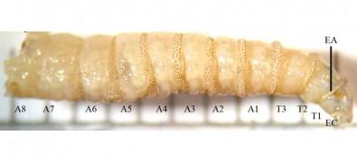 Substância produzida por larvas de mosca pode curar feridas crônicas
