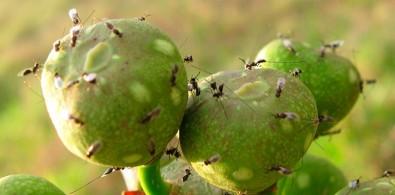 Nova fase na relação entre figueiras e vespas é desvendada
