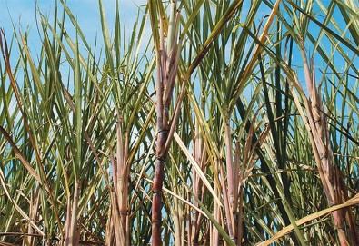 Pesquisadores desvendam fases no desenvolvimento da cana-de-açúcar