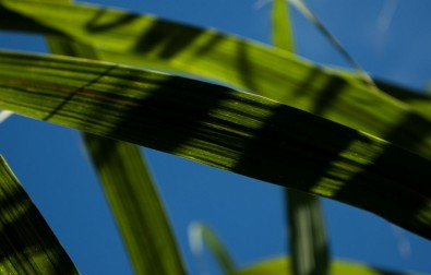Genes that make sugarcane more drought tolerant are identified