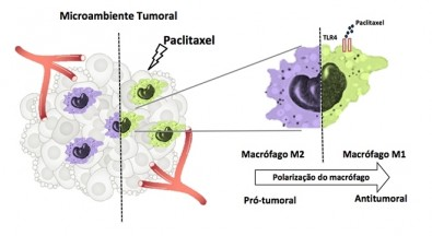 Chemotherapy drug paclitaxel also acts as an immune response modulator