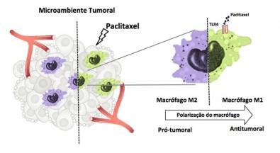 El quimioterapéutico paclitaxel tiene también un efecto modulador de la respuesta inmunitaria