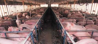 Un virus que infecta a los cerdos en China aparece en humanos en Brasil