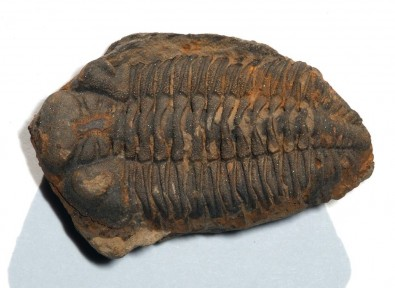 Reconstruction of trilobite ancestral range