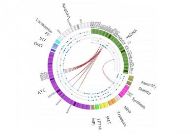 Mutaciones en el ADN mitocondrial tendrían un rol clave en el cáncer de pene, según un estudio