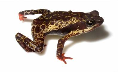 Un hongo diezmó poblaciones de 501 especies de anfibios en el mundo