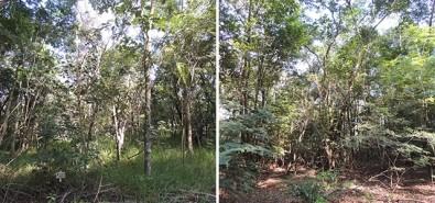 Intensive silviculture accelerates Atlantic Rainforest biodiversity regeneration